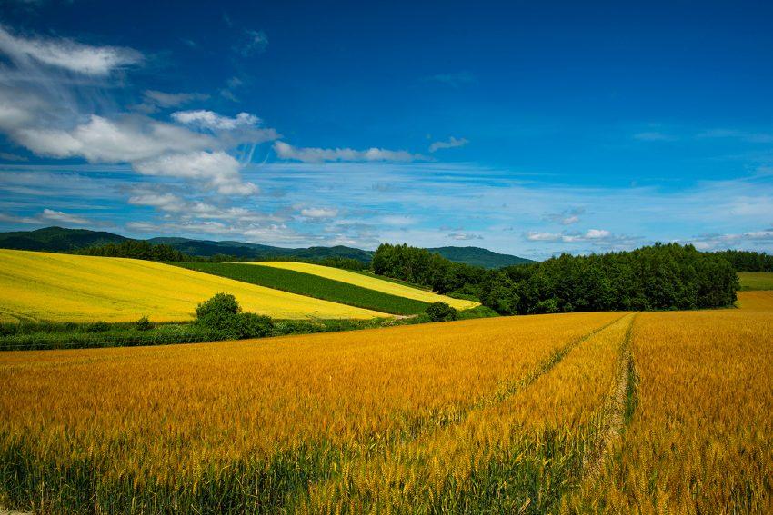 「美瑛の丘 小麦畑」の画像検索結果